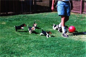 AWOL BEAGLE BABIES OUT FOR A ROMP!
